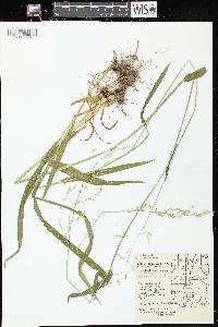 Milium effusum image