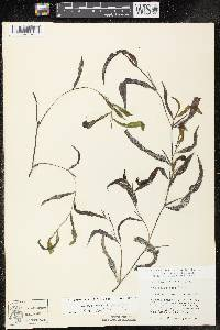 Potamogeton x spathuliformis image