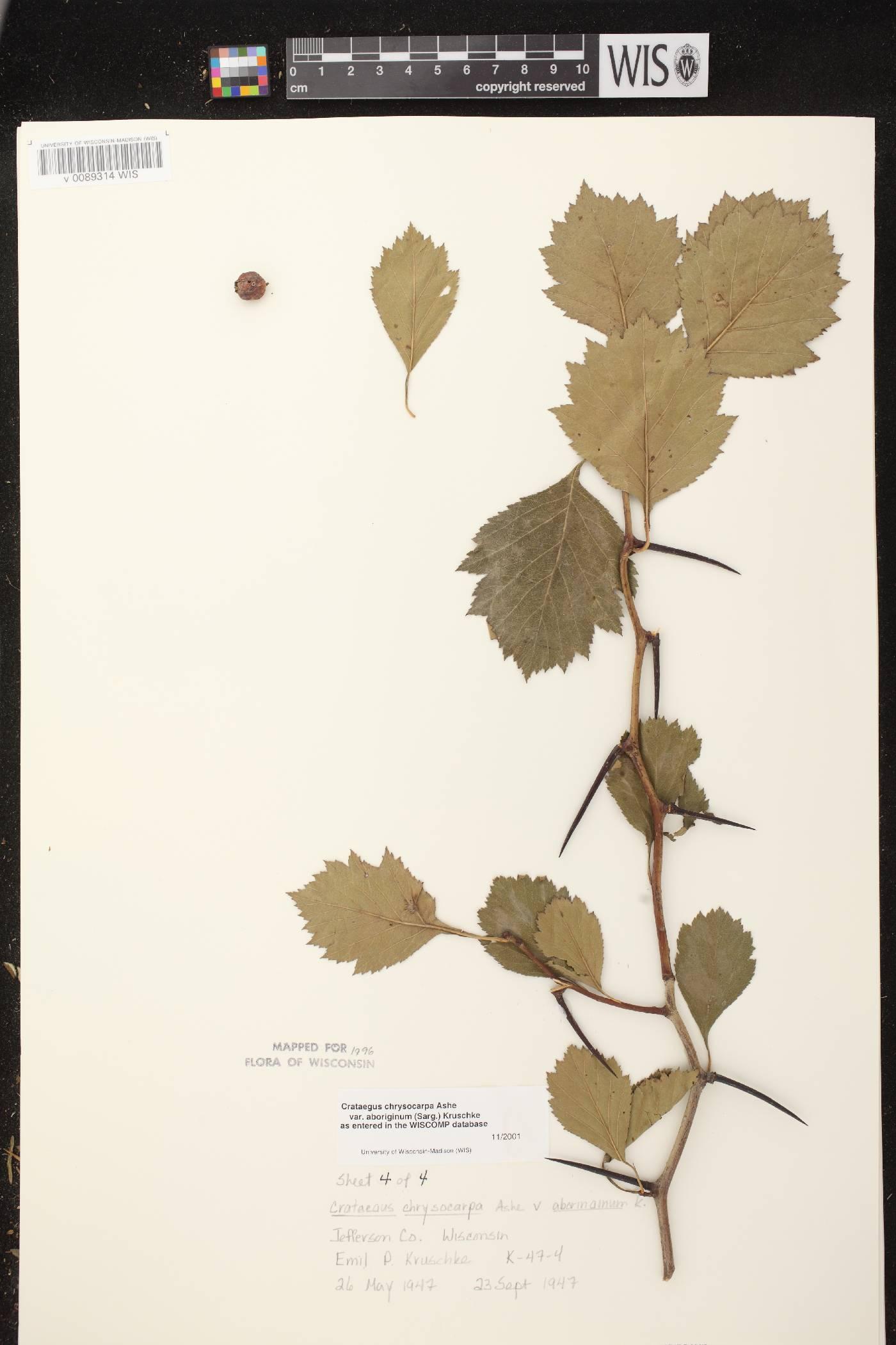 Crataegus chrysocarpa var. chrysocarpa image