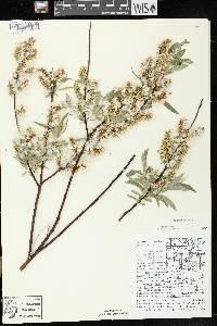 Salix petiolaris image