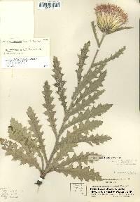Cirsium pumilum image
