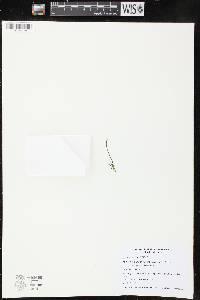 Image of Botrychium lanceolatum