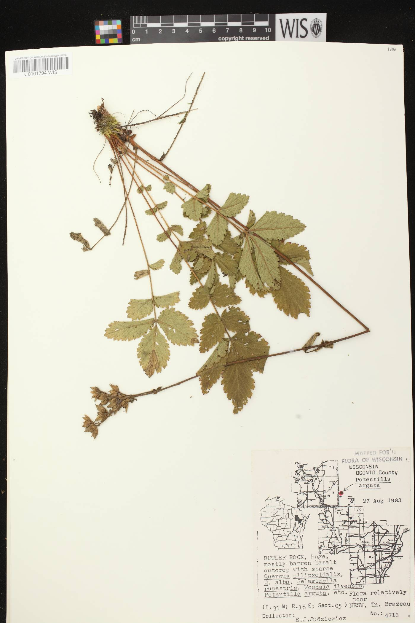 Drymocallis arguta image