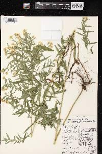 Symphyotrichum lanceolatum var. lanceolatum X S. praealtum image
