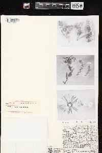 Symphyotrichum ericoides X S. sericeum image