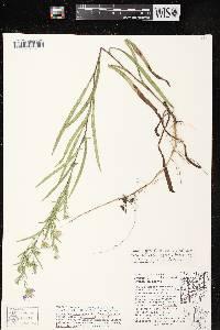 Symphyotrichum boreale X S. laeve image