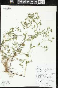 Image of Euphorbia
