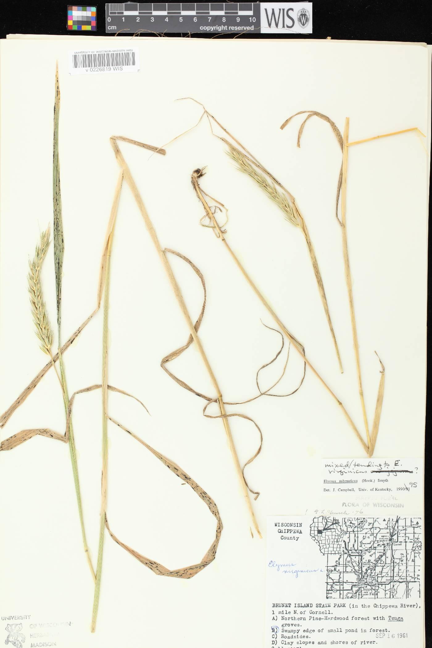 Elymus curvatus image