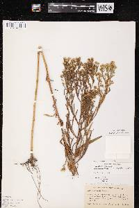 Symphyotrichum lanceolatum var. interior X S. lanceolatum var. lanceolatum image
