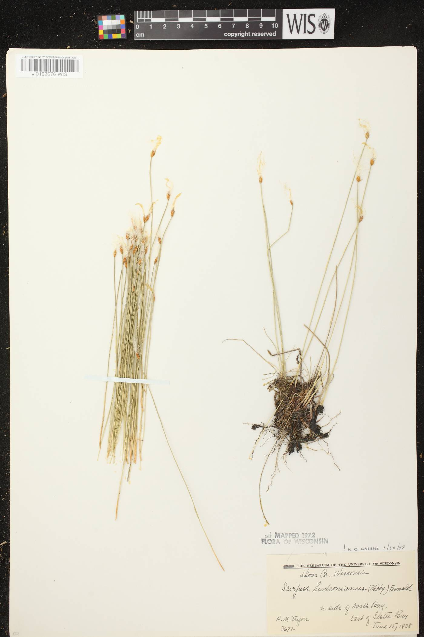 Trichophorum alpinum image