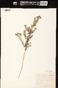 Symphyotrichum X amethystinum image