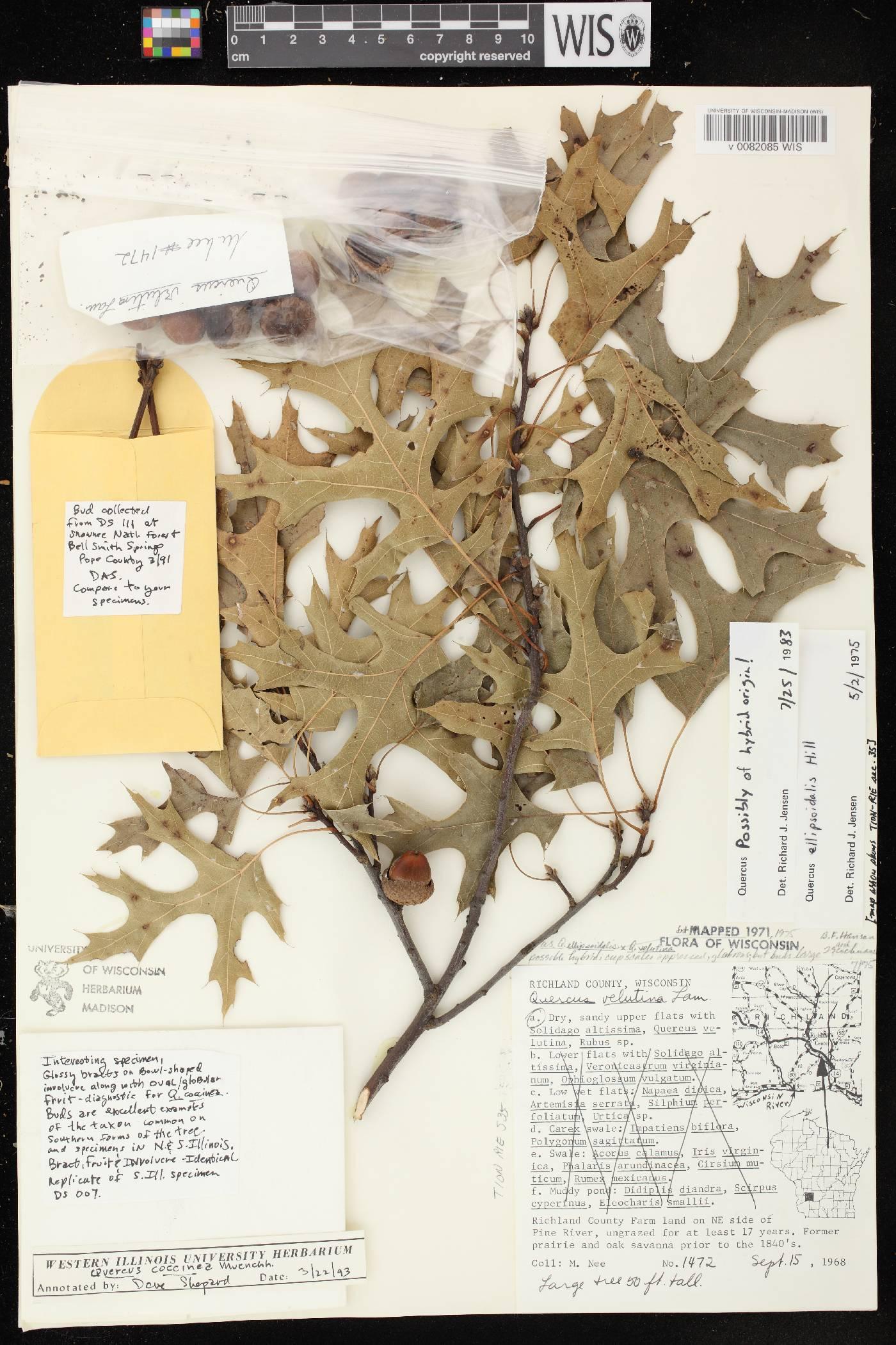 Quercus x palaeolithicola image