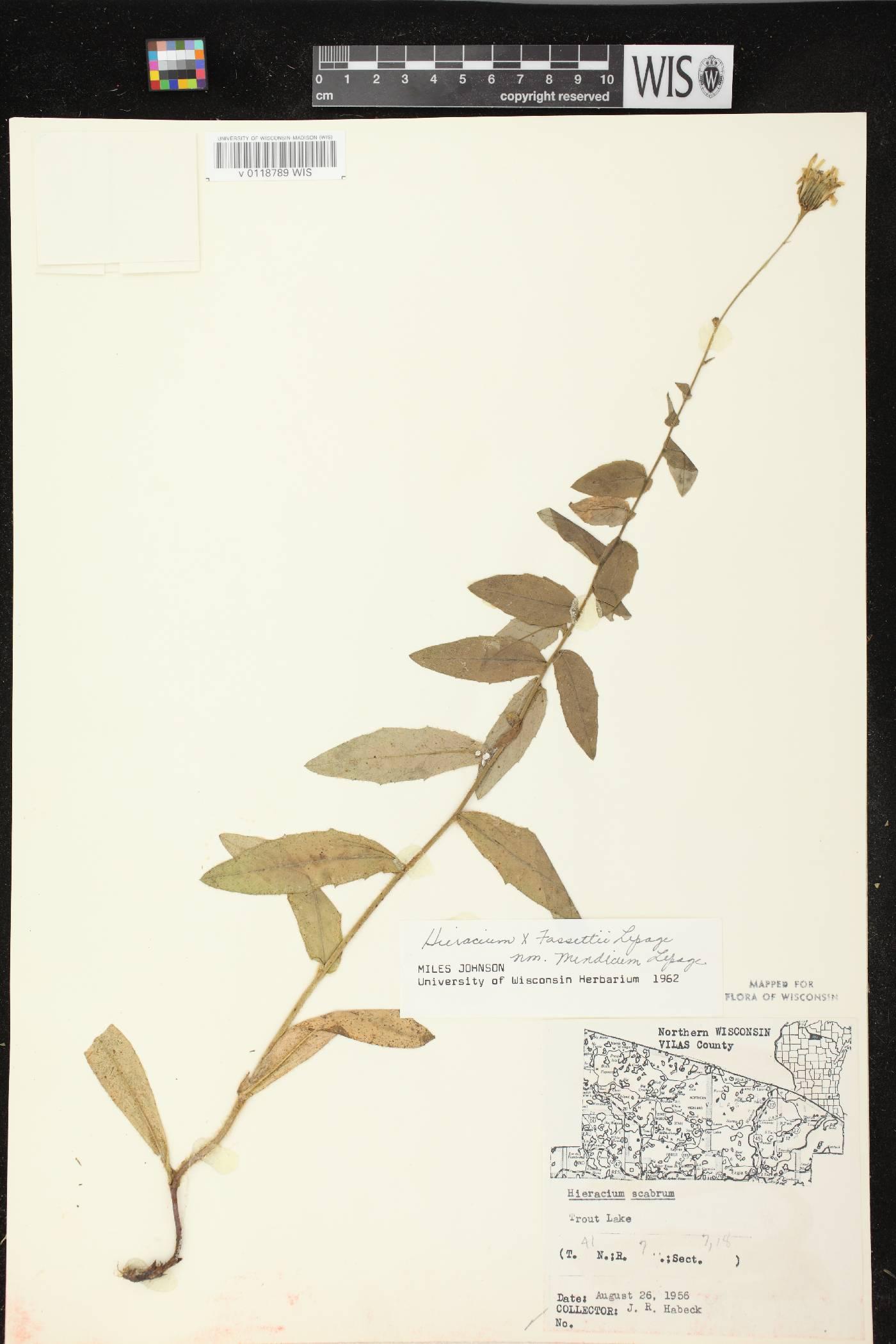 Hieracium x fassettii var. mendicum image