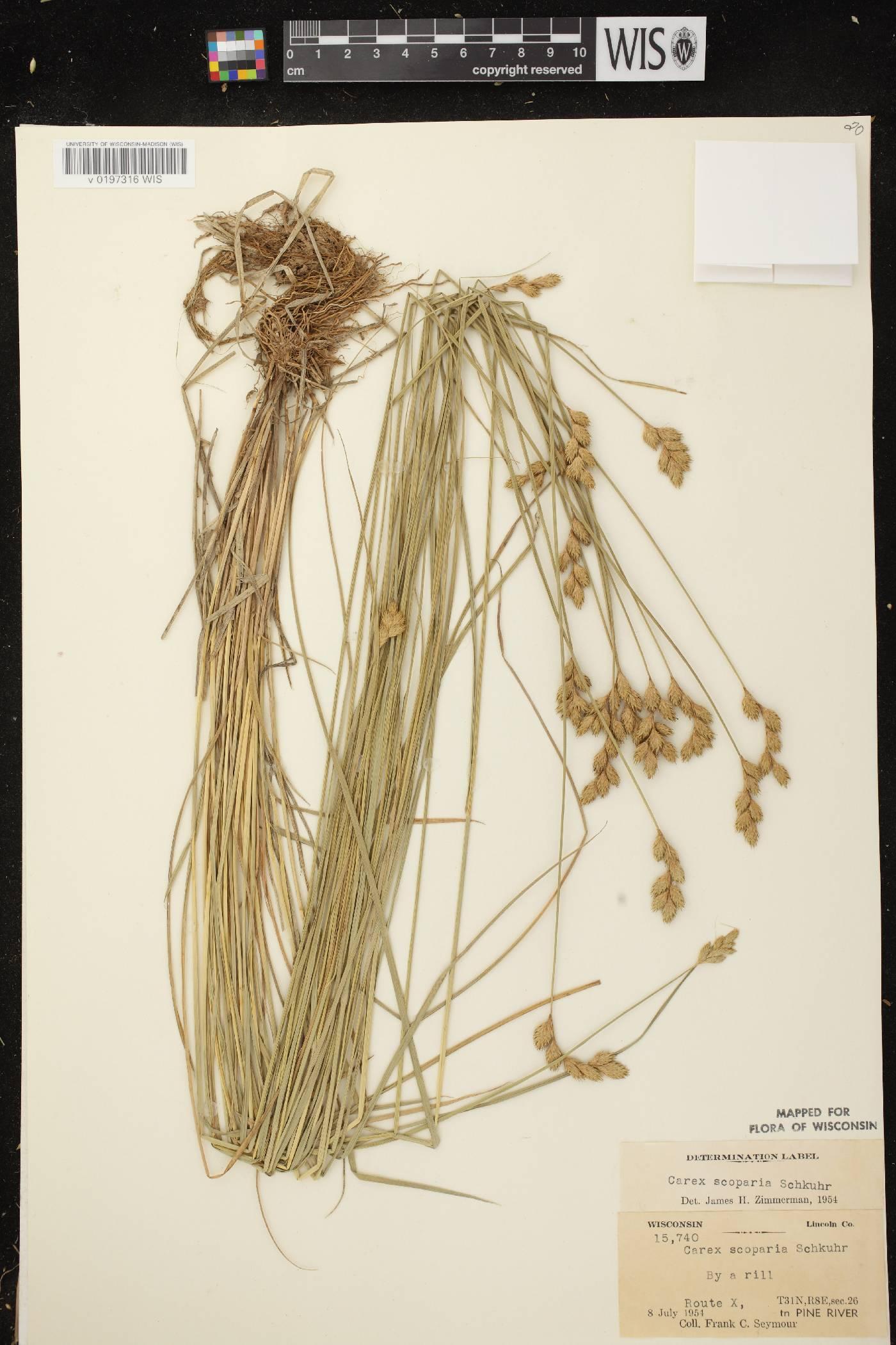 Carex scoparia var. scoparia image