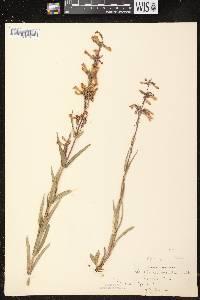 Penstemon gracilis subsp. gracilis image