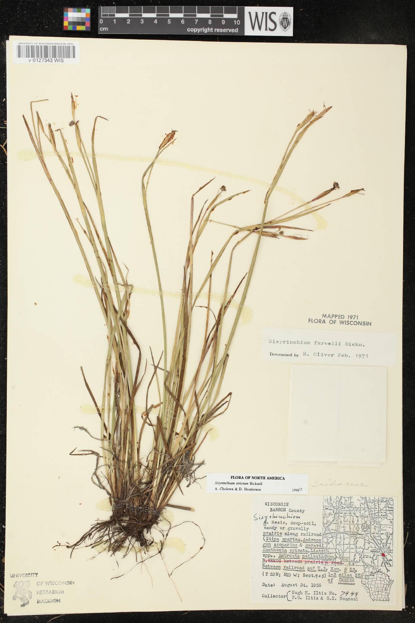 Sisyrinchium strictum image