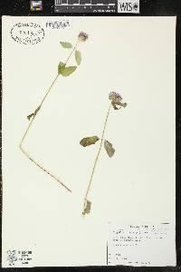 Image of Blephilia hirsuta