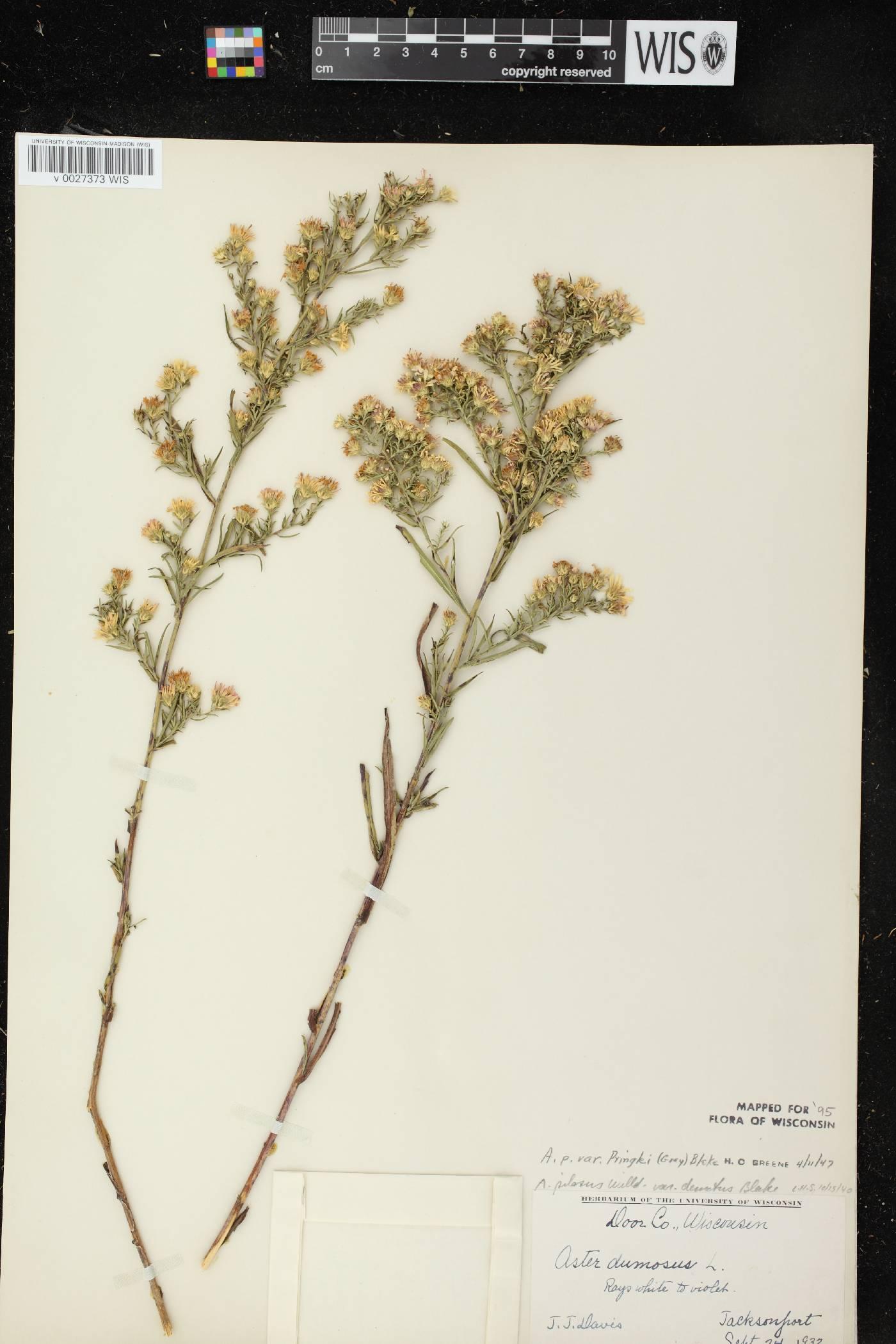 Symphyotrichum pilosum var. pringlei image