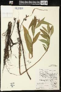 Decodon verticillatus var. laevigatus image