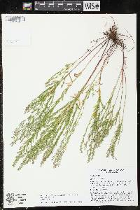 Lechea stricta image
