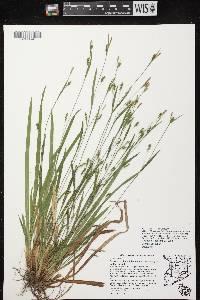 Carex laxiculmis var. copulata image