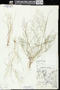Image of Eragrostis frankii