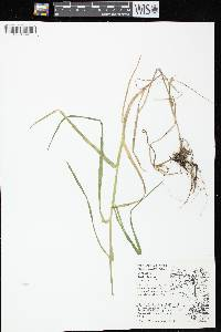 Image of Glyceria