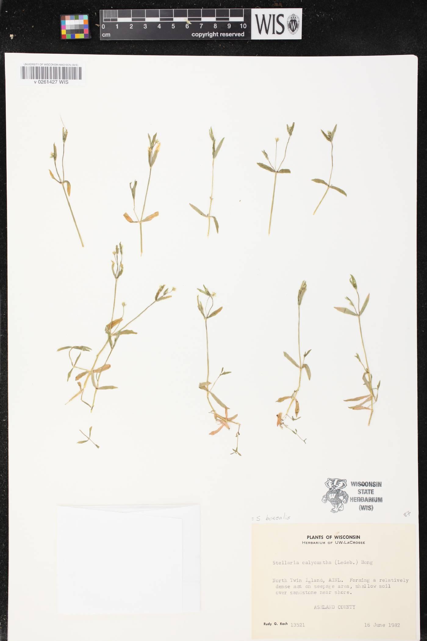 Stellaria borealis subsp. borealis image