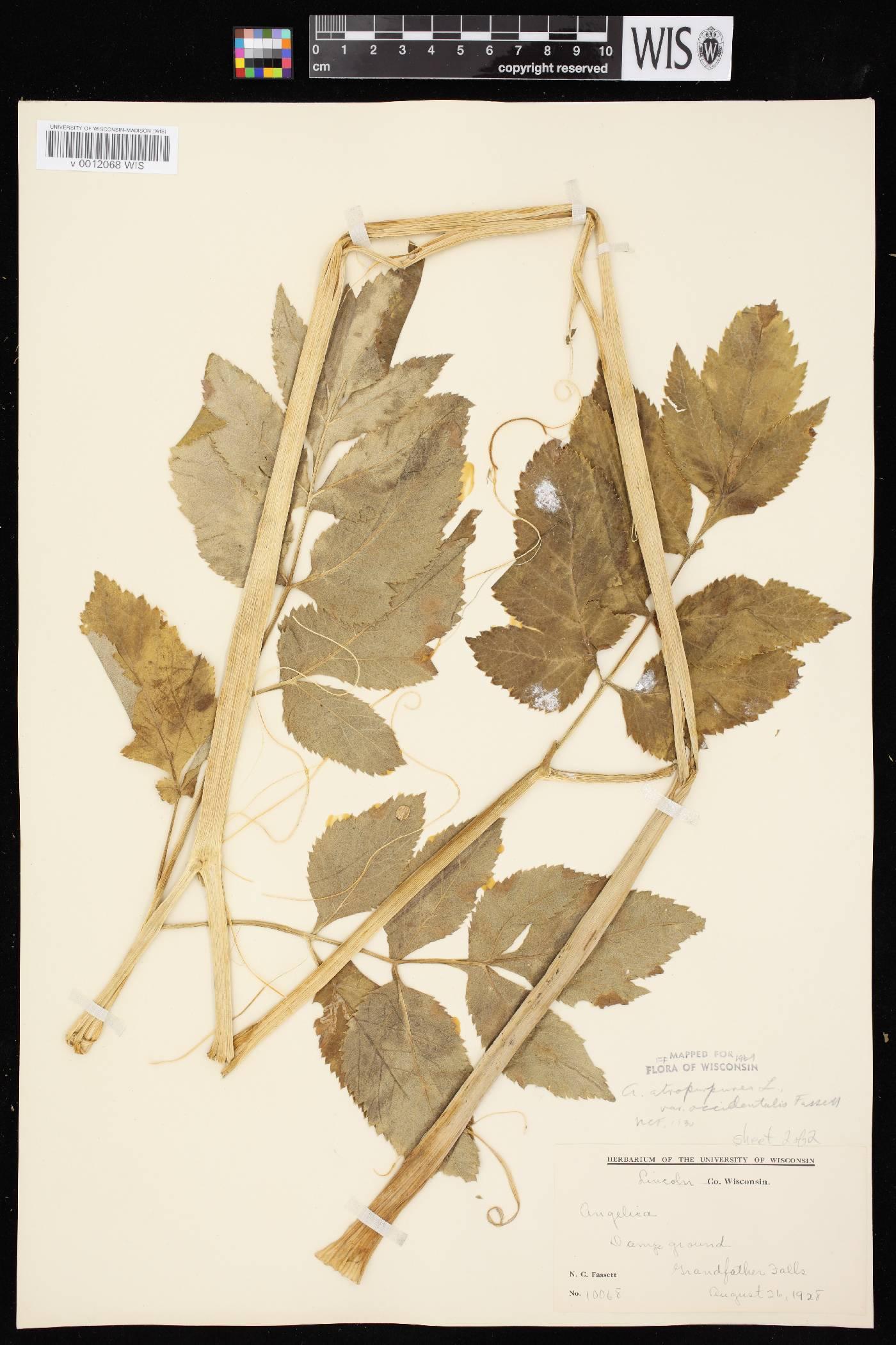 Angelica atropurpurea var. occidentalis image