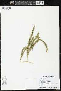 Spinulum annotinum image