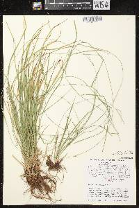 Carex assiniboinensis image