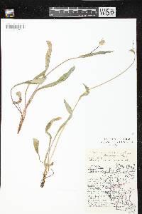 Image of Krigia biflora subsp. glandulifera