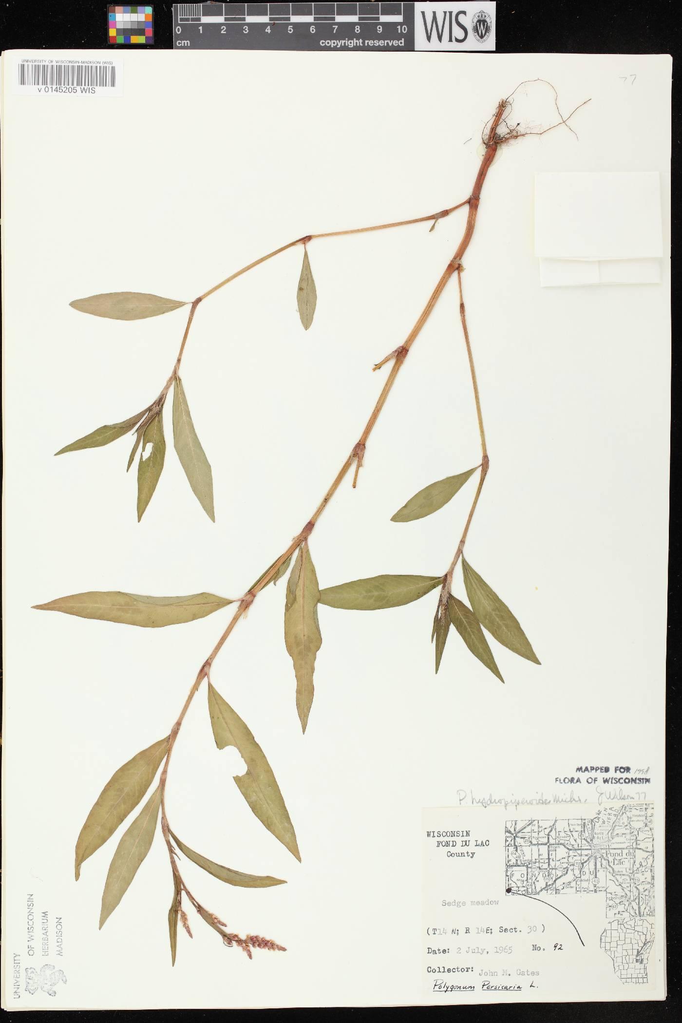 Persicaria hydropiperoides image