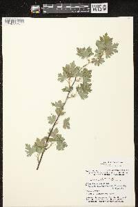 Ribes hirtellum image