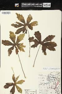Petasites frigidus var. palmatus image