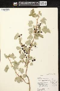 Ribes lacustre image
