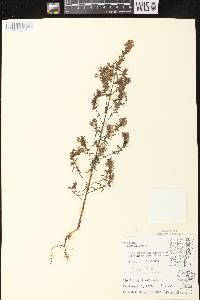 Odontites vernus subsp. serotinus image