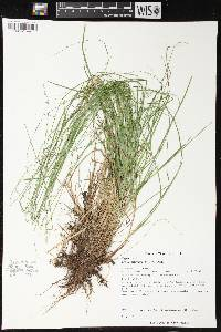 Image of Carex brunnescens