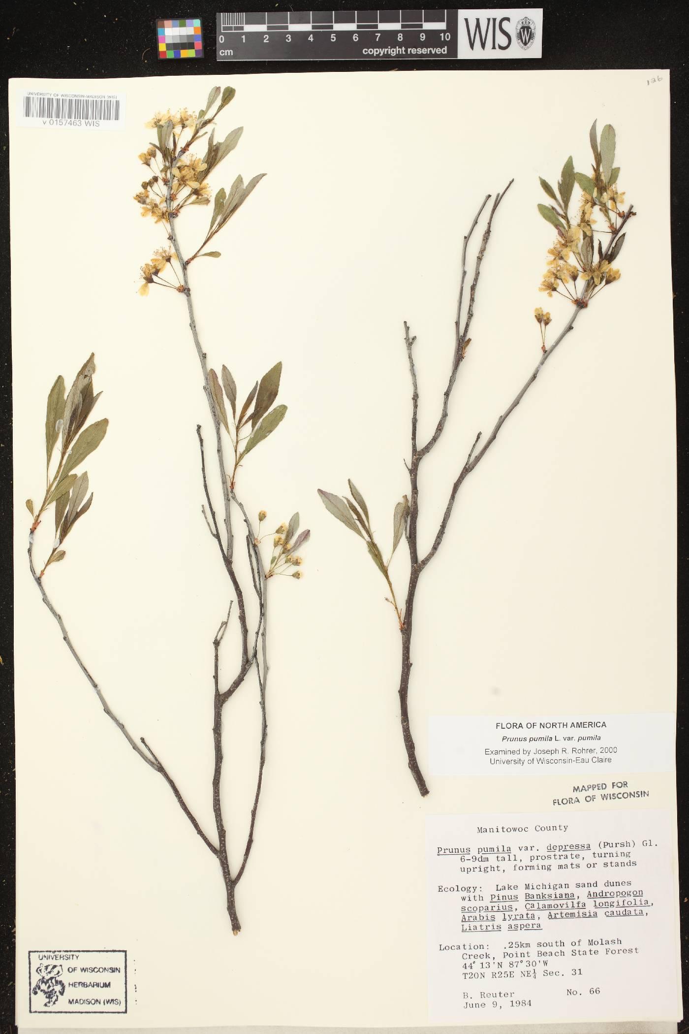Prunus pumila image