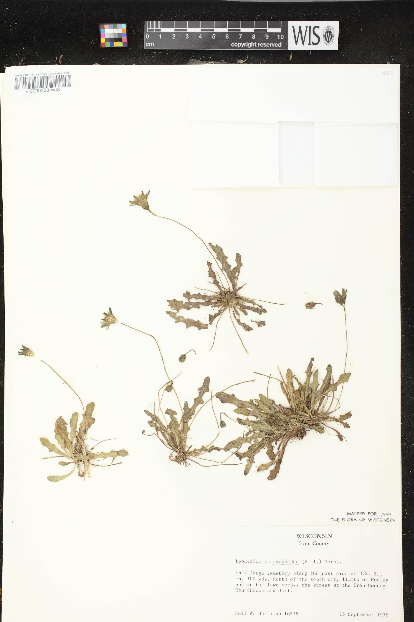 Leontodon saxatilis subsp. saxatilis image