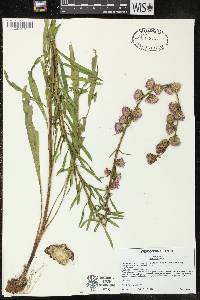 Liatris aspera image