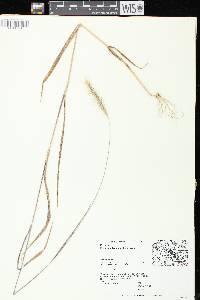 Elymus villosus var. villosus image