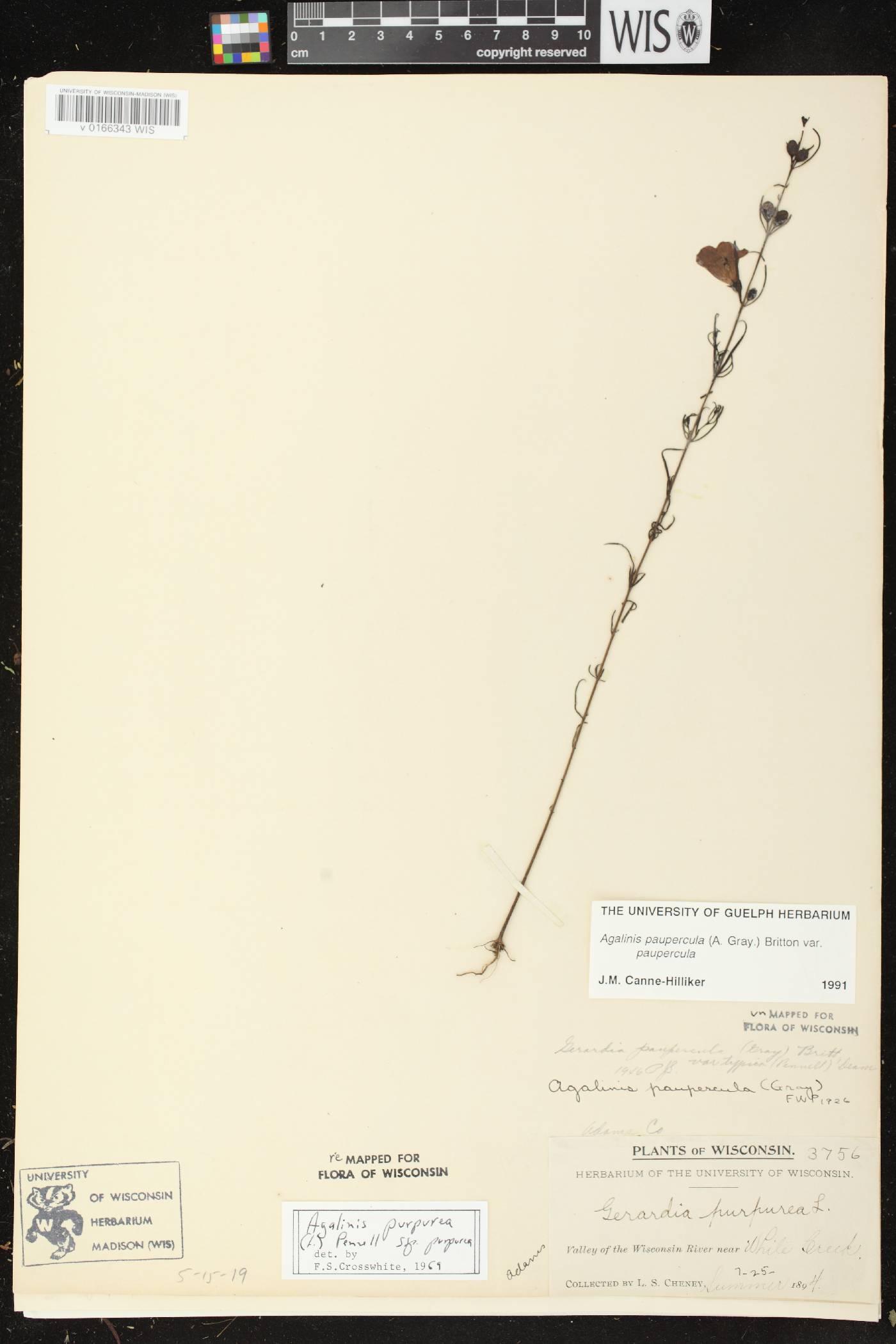 Agalinis paupercula var. paupercula image