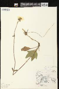 Helianthus occidentalis subsp. occidentalis image