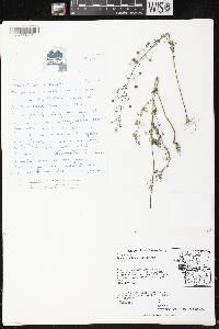 Agalinis gattingeri image