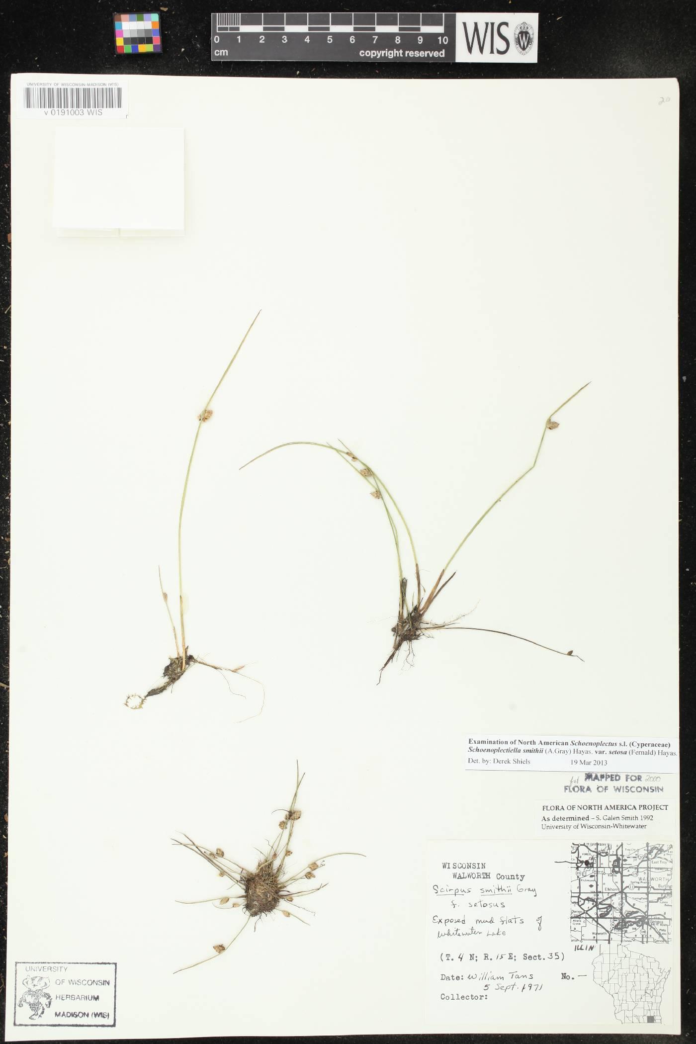 Schoenoplectus smithii var. setosus image