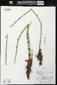 Image of Equisetum hyemale