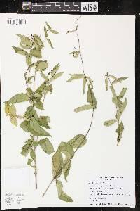 Vincetoxicum nigrum image