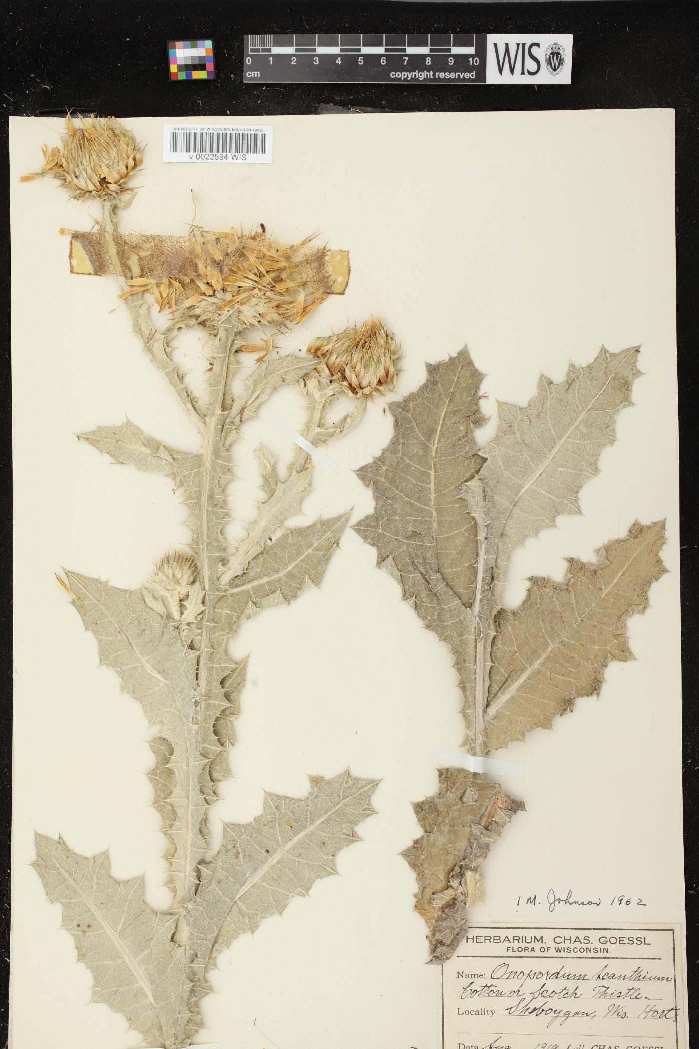 Onopordum acanthium subsp. acanthium image