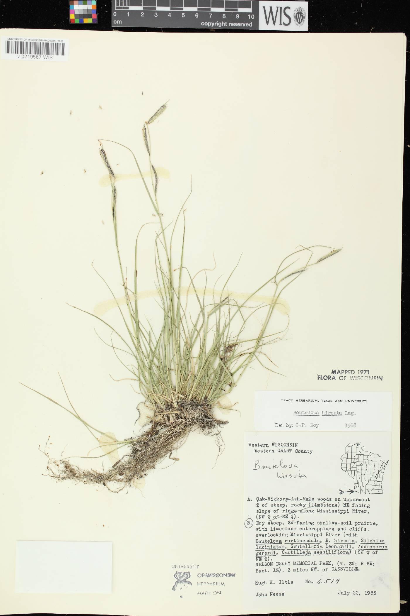 Bouteloua hirsuta subsp. hirsuta image